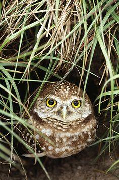 A Burrowing Owl: Florida, USA.