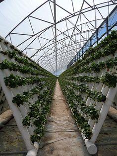 hydroponic farm - strawberries | cafegrumpy | Flickr