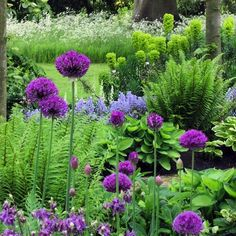 """""""Great plant combination of purple alliums, purple aquilegias, blue campanula interspersed with the form plants of hostas, ostrich (?) ferns and euphorbia.…"""""""