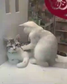 chat trop mighonchat trop mignon et drole trop mignon dessinphoto de chat mignon et rigolochat drolevideos de chats trop mignonschat mignon dessin Cute Cat Gif, Cute Funny Animals, Cute Baby Animals, Cute Cats, Funny Cats, Cute Cat Video, Kittens Cutest, Cats And Kittens, Kitty Cats