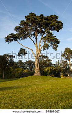 On top of janis joplin tree so cute photos for golden gate cypress tree in botanical garden stock photo cypress tree in the botanical gardens in golden fandeluxe Gallery