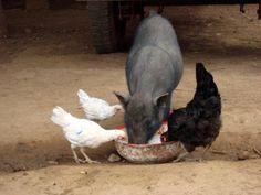 Zo gaat dat met de varkens en de kippen