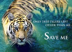 Links To Help Save The Tigers, LINKS BELOW! http://sulia.com/my_thoughts/0ab24e37-5b29-48c4-8846-62b56351224f/?pinner=119686333