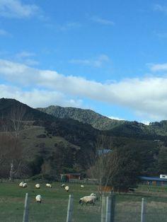 Coromandel, New Zealand  Found some sheep!