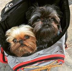 16 Things You Didn't Know About Brussels Griffons Cute Puppies, Cute Dogs, Dogs And Puppies, Doggies, Poodle Puppies, Beautiful Dogs, Animals Beautiful, Cute Animals, Griffon Dog