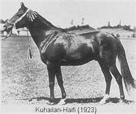 kuhailan-haifi. b 1923. Desert bred. Bred by Khalef El-Aquad of the Muntfiq. Imported to Poland by Prince Roman Sanguszko in 1931. Sired only 14 foals before his death; sire of legedary Ofir, to whom both my horses trace.