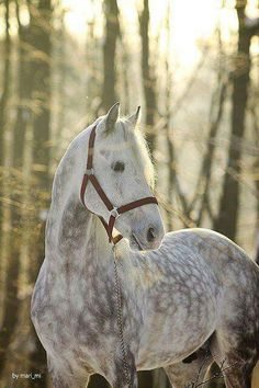 Amazing beauty, Dapple Grey horse in the forest.