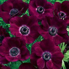 Poppy Anemone Burgundy