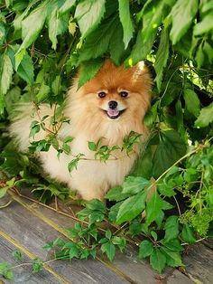 Dog Breeds Little .Dog Breeds Little Big Dog Toys, Big Dogs, Cute Puppies, Cute Dogs, Dogs And Puppies, Doggies, Dog Breeds Little, Cute Pomeranian, Cool Dog Houses