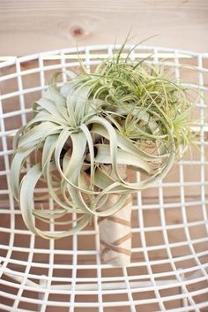 Tillandsia / airplant bouquet #nonfloralbouquets #airplants