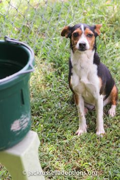 Georgia Jack Russell Rescue, Adoption and Sanctuary | Baby Girl