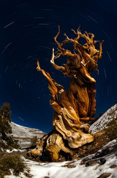 Gnarled branches of a Bristlecone Pine reaches for the stars, Sierra Nevada, California