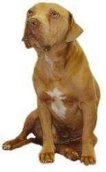 Turbo is an adoptable Pit Bull Terrier Dog in Inverness, FL. � Our small adoption fee includes: spay/neuter, vaccinations, microchip, worming, flea pill, blood test, � and free obedience training. LET...