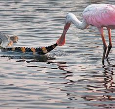 Image: A roseate spoonbill tugs on an alligator's tail in a pond at Huntington Beach State Park, SC (© Phil Lanoue/ Caters News)