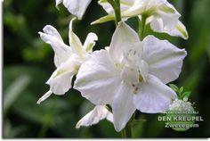 Delphinium belladonna (ridderspoor)