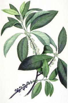 Melicytusramiflorus.jpg (847×1279)