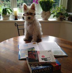 Schnauzer Puppy Dorothy - First day of school