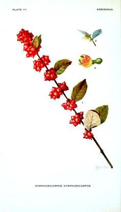 Botanical - Red berries