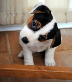 Jack Russell Puppy! Tex will have one of these for a friend one day!