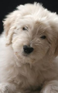 This is where we got our Goldendoodle. I love these folks. They're the BEST!!!
