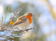 Love Robins