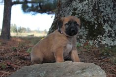 Litter of 9 Anatolian Shepherd puppies for sale in SEARCY, AR. ADN-49197 on PuppyFinder.com Gender: Male(s) and Female(s). Age: 6 Weeks Old