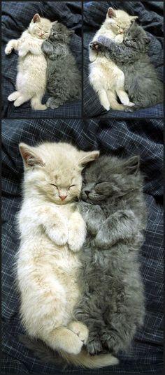 Cuddling Cats cute animals cat cats adorable animal kittens pets kitten funny…