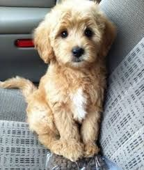Image result for teddy bear puppies