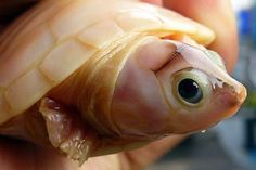 SeaWayBLOG: Albino turtle twins!
