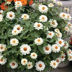 Profusion double white dwarf zinnia for containers. Profusion is far and away the best Zinnia for bedding, because it's full, bushy, and covered with bright blooms all summer long, extending into fall.