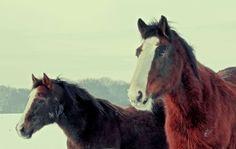 #animals #brown #horse #horse head #horses #seasons #snow #snowy #two #winter