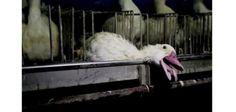 Gravi sevizie e atti di crudelt�:un grande produttore di foie gras finisce in tribunale per presunte violenze sugli animali - News - World Wine Passion