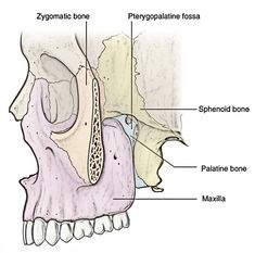 The pterygopalatine fossa is a pyramidal space between the pterygoid process of sphenoid behind and the perpendicular plate of palatine in front… Palatine Bone, Sphenoid Bone, Anatomy And Physiology, Head And Neck, Healthy Tips, Iphone Wallpaper, Healthy Living, Medicine, Sketch