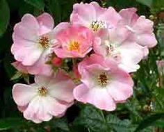Apple blossom est un merveilleux rambler au doux parfum. Ses larges bouquets de fleurs simples rose frais, recouvrent pendant plus d'un mois leur support. Beau feuillage clair indemne de maladies. Végétation exubérante. Multiflora. Burbank, 1932.