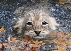 baby lion! Adorable!