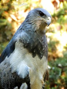 Black-Chested Buzzard-Eagle by Jaavii