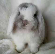 White Eared Lilac Magpie Mini Lop | Omg is this bun bun freaking adorable!