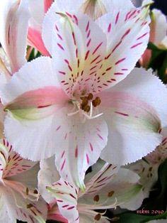Lilies alstroemerias great cut flower