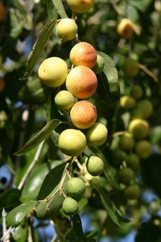 Ziziphus Spina-Christi (Christ's Thorn Jujube) is a dense thorny tree of tropical Sudanese origin. The fruit is edible but not of high quality