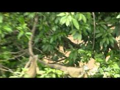 Iguanas resting in trees in Costa RIca, filmed by Avacade Investments on one our product inspection trips.