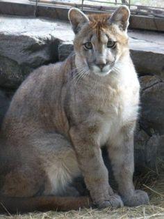 Puma alrededores de Merlo