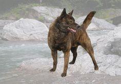 Kai Ken (Kai Dog) / Japanese Dog.