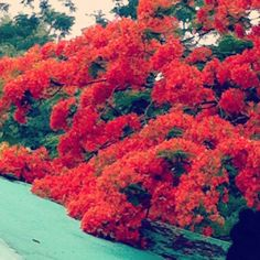 Flamboyan Puerto Rico | Trees & flowers