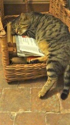 cat sleeping on kindling wood Ernst Hemingway, Simons Cat, Cat Behavior, Sleepy Cat, Cat Sleeping, Domestic Cat, Beautiful Cats, Cat Life, Crazy Cats