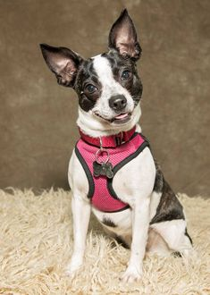 Violeta is a 9 month old Chihuahua/Boston Terrier mix who loves belly rubs and wants a home to call her own.