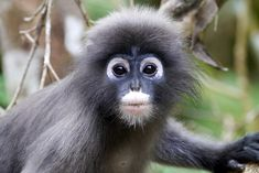 This is the dusky langur! Also called spectacled leaf monkeys because they look like they're wearing glasses. Endemic to Malaysia, southern Myanmar, and southwestern Thailand. They prefer closed primary forests but are highly adaptable, even residing in urban settings. They have lost 70% of their habitat over 36 years to human activities resulting in greater than 50% population decline. Widely hunted for food and for the pet trade. They are Endangered. Read their story!