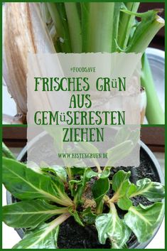 Frisches Grün aus Gemüseresten ziehen © Melanie Öhlenbach / Kistengrün #gemuese  #zimmergarten #garten #foodsave #kistengruen Rest, Indoor Gardening, Projects To Try, Vegetables, Food, Fresh Green, Balcony, Lawn And Garden, Decorations
