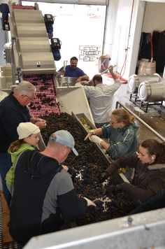 Sorting table fun at the winery.