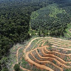 Palm oil is a driver of deforestation and the accepted criteria for certified…