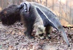 cuteness on an anteater